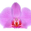 Close-up pink orchid Stock Photo