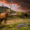 Red deer stag in dramatic mountain landscape. Dramatic sunset with beautiful sky over mountain range giving a strong moody landscape and red deer stag looking Stock Photo
