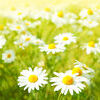 Flowers field. Field of daisy flowers, selective focus Stock Photo