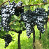 Wine Grapes. Red wine grapes on vineyard in South Tyrolia - Italy Stock Photo