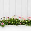 White wooden spring background with pink daisy flowers. White wooden shabby chic spring background with pink daisy flowers Stock Photo