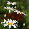 Daisy Daisy  White Stock Photo