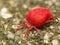 Stock Image :  Ácaro rojo del terciopelo en superficie verde