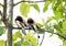 Stock Image :  Ένα ζευγάρι καστανοκοκκινωπού Treepie χαρακτική συγχρόνως