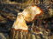 Stock Image :  δαγκωμένο κάστορας δέντρ&omi