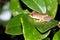 Stock Image :  Βάτραχος καλάμων