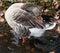 Stock Image :  Γκρίζα χήνα χιονιού στα fluffing φτερά λιμνών