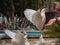 Stock Image :  Κινηματογράφηση σε πρώτο πλάνο που ταΐζει το άσπρο περιστέρι από τον άνθρωπο Benidorm στο πάρκο