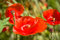 Stock Image :  Λουλούδι παπαρουνών στο λιβάδι