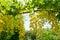 Stock Image :  Λουλούδι συριγγίων της Cassia