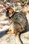 Stock Image :  Ο κόκκινος-αντιμετωπισμένος κερκοπίθηκος