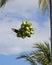 Stock Image :  Πράσινες καρύδες