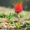 Stock Image :  Όμορφη κόκκινη άγρια τουλίπα