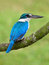 Stock Image : Бел-Collared Kingfisher