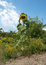 Stock Image :  желтый солнцецвет