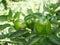 Stock Image :  Зеленые перцы колокола