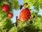 Stock Image : Команда муравеев и клубники, сыгранности земледелия