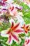 Stock Image :  Красивые лилии в саде