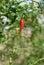 Stock Image : Красный ец