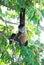 Stock Image : Никарагуанская обезьяна паука
