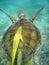 прикрепленная черепаха моря remora Мексики