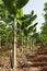 Stock Image :  Плантация бананового дерева в природе