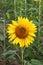 Stock Image :  Солнцецвет