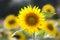 Stock Image :  Солнцецвет (lat Подсолнечник) на летнем времени, Германии