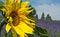 Stock Image :  与淡紫色领域的美丽的向日葵在距离风景