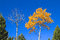 Stock Image :  两个桦树树梢在秋天
