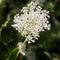 Stock Image :  共同的欧蓍草(拉特 Achillea millefolium)有绿色背景