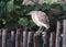 Stock Image : 印地安池塘苍鹭或Paddybird
