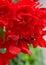 Stock Image :  布里扬红色垂悬的秋海棠花