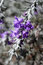 Stock Image : 柔滑的Eremophila