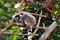 Stock Image : 狐猴catta