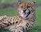 Stock Image :  猎豹3