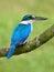 Stock Image : 白抓住衣领口的翠鸟
