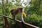 短尾猿猴子