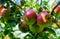 Stock Image :  苹果成熟结构树