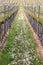 Stock Image :  葡萄园在Pfalz,德国