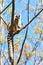 Stock Image :  Δαχτυλίδι-παρακολουθημένος κερκοπίθηκος στο δέντρο