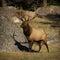 Stock Image : 6X6 Bull Elk