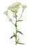 Stock Image : Achillea millefolium flower