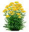 Stock Image : Achillea -yarrow yellow