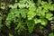 Stock Image : Adiantum Fern,Maidenhair fern