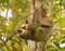 Stock Image : Two-toed Sloth