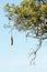 Stock Image : African sausage tree detail