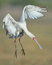 Stock Image : African Spoonbill coming on to land