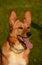 Stock Image : Africanis dog portrait