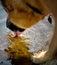 Stock Image : Agua que saca con pala de la lengüeta de perro